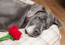 Dog and flower Royalty Free Stock Image