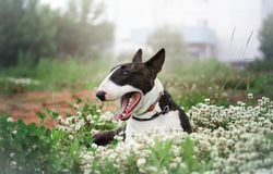 Dog on a flowering meadow Royalty Free Stock Photography