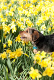 Dog In the Flowers Royalty Free Stock Photos