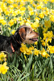 Dog In the Flowers Royalty Free Stock Photo
