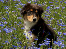 Dog in the flowers. Portrait of australian shepherd dog in the blue flowers Stock Images
