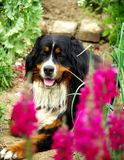 Dog between flowers Royalty Free Stock Photo