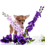 Dog and flowers isolated on white background Royalty Free Stock Images