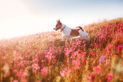 Dog in flowers Jack Russell Terrier stock photo