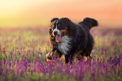 Dog in flowers run. Bernese Mountain Dog run in violet flowers field at sunset light royalty free stock image