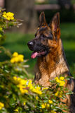 Dog in flowers. Shepherd dog portrait in yellow flowers Royalty Free Stock Photo
