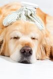 Dog with flu Royalty Free Stock Photo