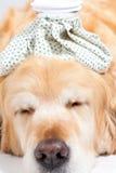 Dog with flu Stock Photos
