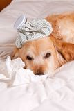 Dog with flu Stock Images