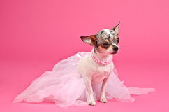 Dog with fluffy dress and pink neckwear Royalty Free Stock Image