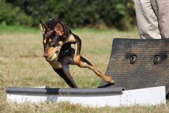 Dog Flyball racing Stock Images