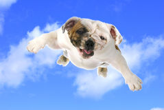 Dog flying. English bull in the cloudy blue sky Royalty Free Stock Images