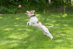 Dog is flying with ball in green grass yard. royalty free stock photography