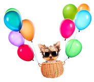 Dog flying in a basket with air balloons Royalty Free Stock Photography