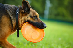 Dog with flying disc Royalty Free Stock Image