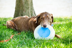 Dog with Flying Disc Royalty Free Stock Images