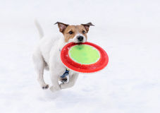 Dog with flying disk running on camera (not frozen motion). Jack Russell Terrier playing on snow Royalty Free Stock Images