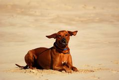 Dog with flying ears. A big brown well behaved African Rhodesian Ridgeback hound dog with funny flying ears in the wind lying down in sand and watching Stock Photos