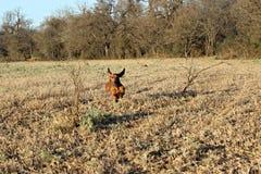 Dog flying Royalty Free Stock Photo