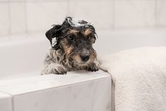 Dog with foam in the bath while bathing in the bathroom stock photo