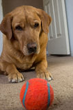 Dog with ball. A yellow Labrador dog focused on a orange tennis ball stock photo