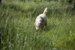 Dog following a trace. Dog working. Follows a trace in the meadow Stock Photo