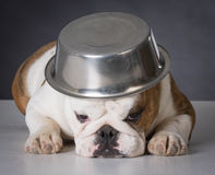 Dog with food bowl on head Stock Image
