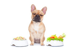 Dog with food choice. French bulldog  dog has the choice between right healthy  and wrong unhealthy  food, isolated on white background Royalty Free Stock Photo