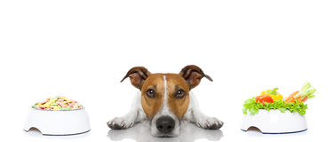 Dog with food choice royalty free stock images
