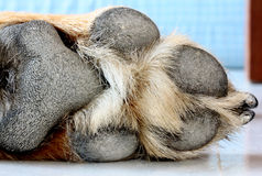 Dog Foot. A close up of a dog paw stock image