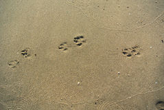 Dog Foot print on beach Stock Photos
