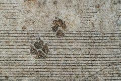 Dog foot print. On concrete floor Stock Image