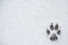 Dog foot print in a snow. Photo for backgroung Stock Photo