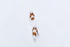 Dog foot prints in snow Stock Photos