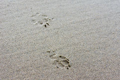 Dog foot prints in wet sand Stock Photos