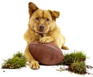 Dog with football. Dog posing with football and grass turf. Isolated on white Royalty Free Stock Images