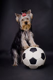 Dog with football. Cute dog leaning on football; dark studio background Stock Image