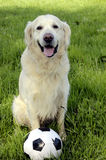 Dog with football Stock Images