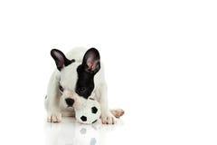 Dog with football french bulldog on white background Stock Photography