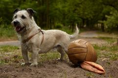 Dog with football. Mongrel with damaged ball in the park Royalty Free Stock Photos