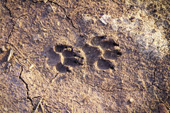 Dog footprint Stock Image