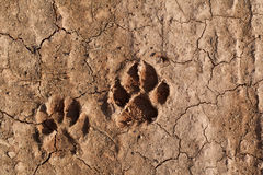 Dog footprint on the earth Stock Photo