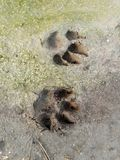 Dog footprint Royalty Free Stock Photos