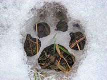Dog footprint on the snow Stock Photo