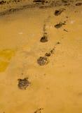 Dog footprints Royalty Free Stock Image