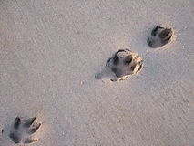 Dog footprints on beach. Dog footprints on wet sand on beach stock image