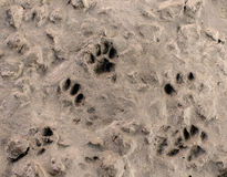 Dog footprints on cement floor background Stock Photo