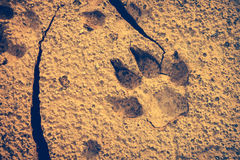 Dog footprints at the cracked ground. Vintage effect tone. Stock Photography