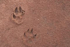 Dog footprints. On the red soil Stock Image