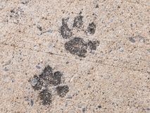 The dog footprints or the dog steps on concrete cement street look royalty free stock images